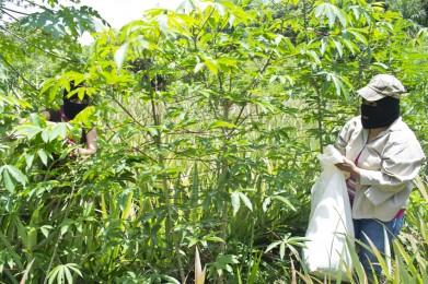 Mujeres-zapatistas-recolectando-yuca-391x260
