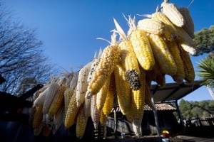 Maize-small-629x420