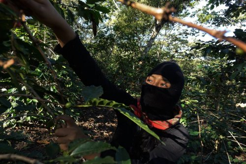 the-coffee-bean-is-another-important-crop-that-is-traded-through-these-zapatista-run-cooperatives-which-make-around-130-tons-of-coffee-a-year