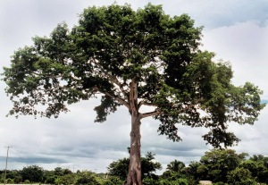 Ceiba Tree, Sacred Tree of Life in Maya Culture