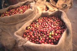 Raw-Coffee-Beans