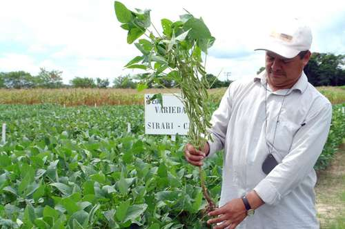 Field of soya in Yucatán