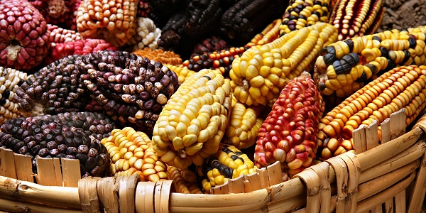 Coloured-corn-cobs-from-Mexico_1200x600